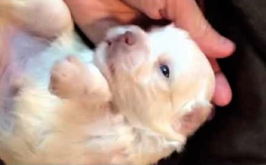 video newborn havanese puppy