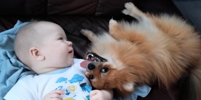 video pomeranian making baby laugh