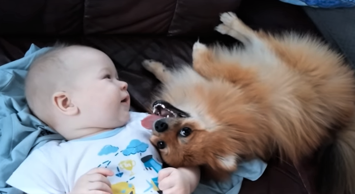 video pomeranian making baby laugh