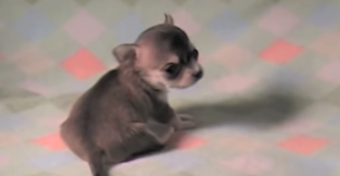 video tiny chihuahua puppy learning to walk
