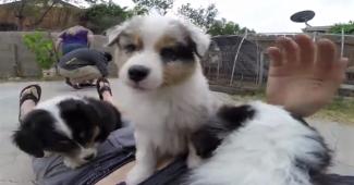video Australian Shepherd puppies playing