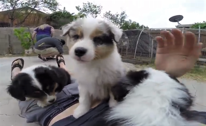 video Australian Shepherd puppies playing