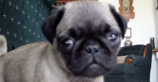 video Pug puppy talks to the camera