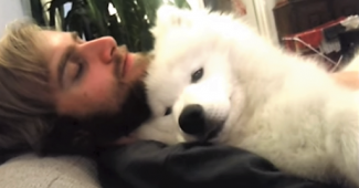 video Samoyed taking a nap with Dad