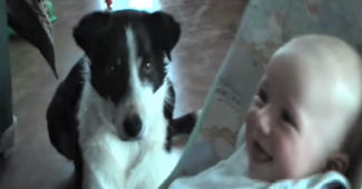 video Border Collie cares for baby