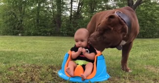 video PitBull babysitting