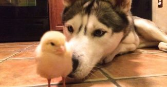 video Husky befriends baby chick