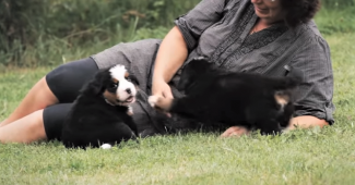 video spending quality time with bernese mountain puppies