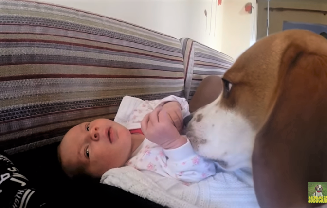 video Beagle welcoming baby home