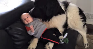 video newfoundland dogs being gentle with children