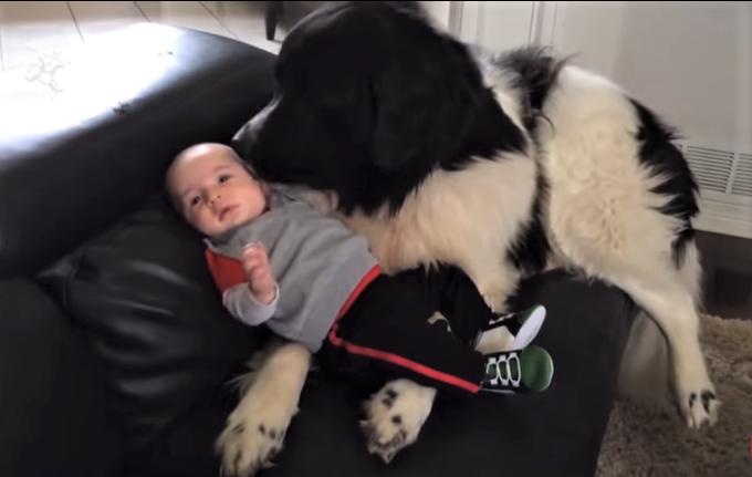 video newfoundland dogs being gentle with children