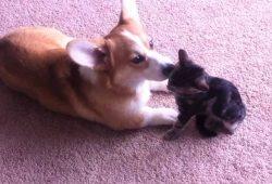video Corgi loves grooming kitten