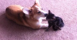 video Corgi loves grooming kitten