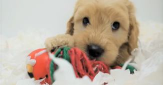 video labradoodle puppies playing