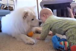 video Samoyeds entertaining children
