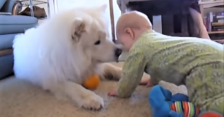 video Samoyeds entertaining children