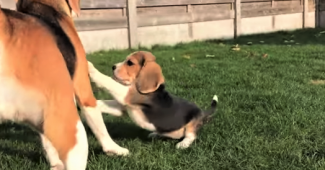 video Beagle puppy playing with adult dogs