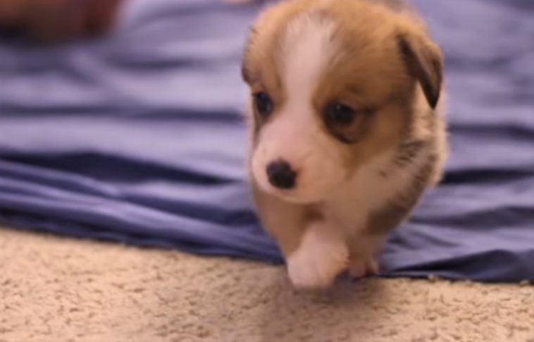 video Corgi puppies snuggling with students