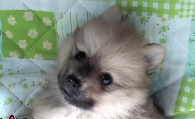 video of Pomer anian puppies