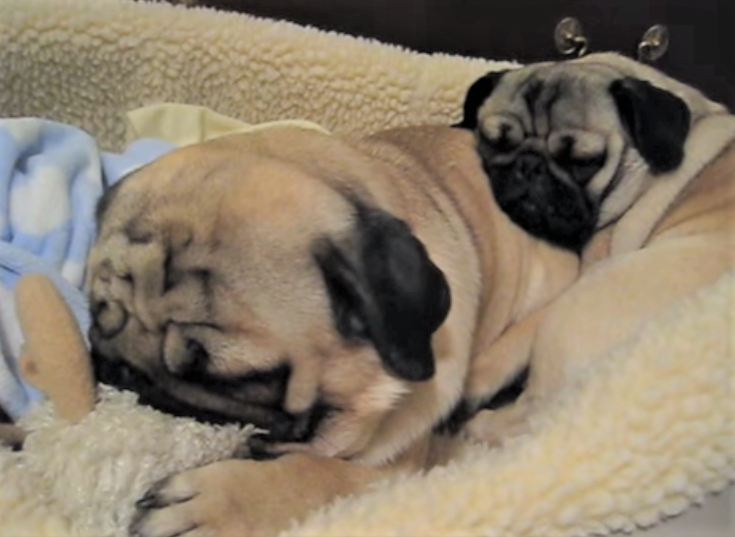 video Pugs snoring loudly