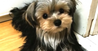 video silky terrier puppy entertaining herself