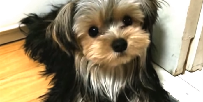 video silky terrier puppy entertaining herself