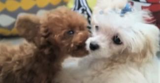 video teddy bear dog Shu kissing fur sister