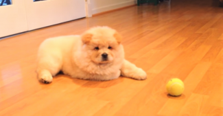 Chow Chow puppy playing with a ball