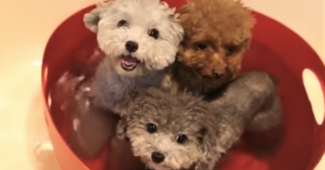 video teddy bear puppies taking baths together