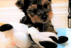 video Yorkshire puppy playing with favorite toy