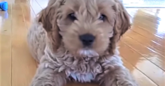 video cockapoo puppy does not like camera