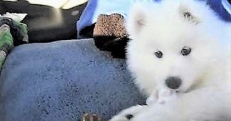 video Lexi the samoyed meeting her new family