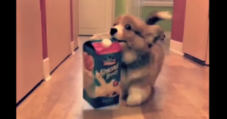 video Corgi puppies having fun