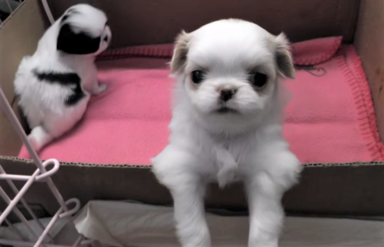video Japanese Chin puppies getting groomed by mom