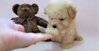 video Teddy Bear dog shaking hands