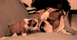 video Bulldog dad playing with his daughter