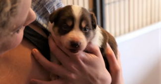 video Border Collie puppy growing