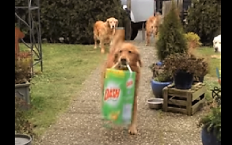video Golden Retrievers eager to help around the house