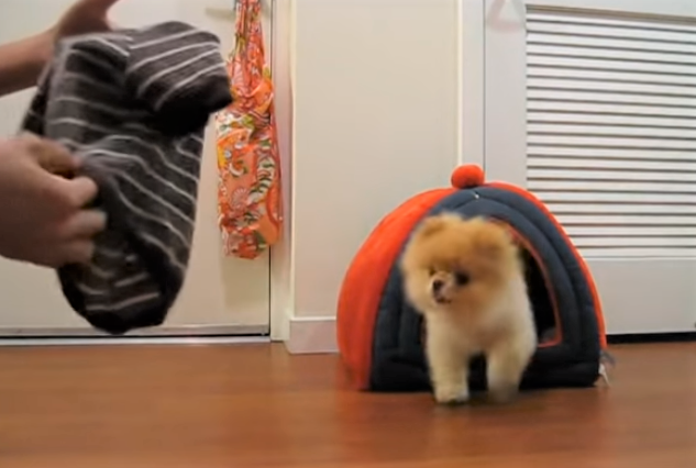 video BOO the Pomeranian loves getting dressed
