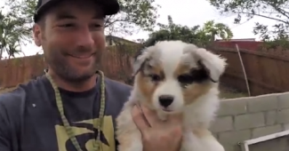 video Australian shepherd puppies playing with dad