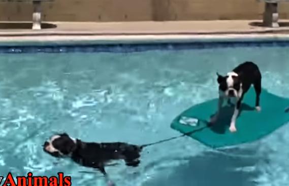 video boston terriers having fun