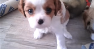 video Cavalier King Charles Spaniel puppies