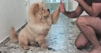 video chow chow learning to high five
