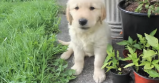 video guidedog puppy in training