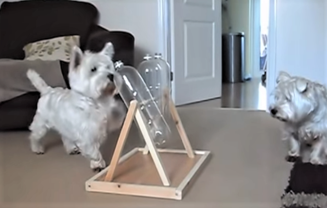 video Westie figures out how to get treats