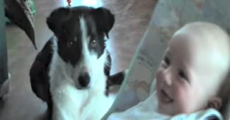 video Border Collie babysitting