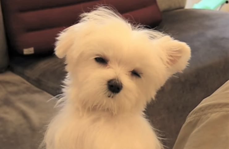 video Maltese puppy dozing off