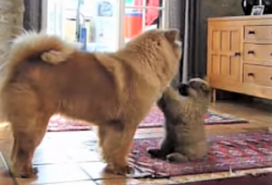 video chow chow adjusting to new puppy