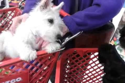 video Scottish terrier puppies meeting at the store