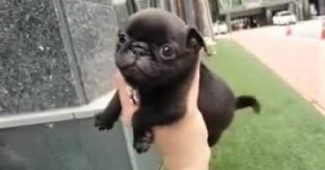 video tiny Pug puppy running